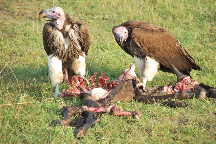 How Vultures Eat Decay...