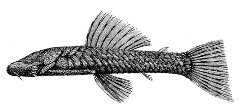 Chaetostoma microps