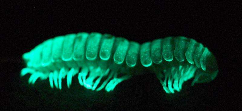bioluminescent millipede