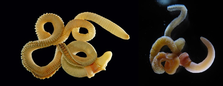 The acorn worms whose genes were analysed. Right: Saccoglossus kowalevskii. Left: Ptychodera flava.