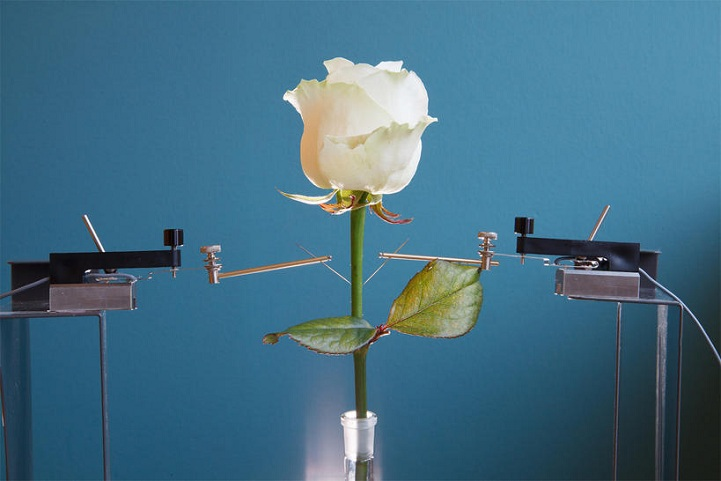 A rose with embedded electronic circuits in its xylem. Photo credits: Linköping University.