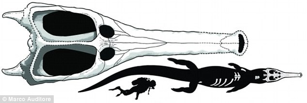 The crocodile compared to a human. It would have looked like your regular crocodile, only longer and with a narrow snout, pictured above.