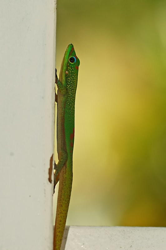 A gecko on a vertical surface.