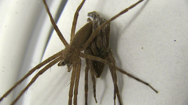 """Fifty Shades of Grey,"" spider-style. A male nursery-web spider restrains a female during sex by wrapping silk around her legs."