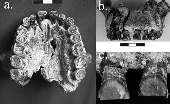 Three perspectives of the OH-65 maxilla. a. Palatal view; b. labial view; c. close-up of the two central incisors showing concentration of labial striations. Photo credits: David Frayer, KU.